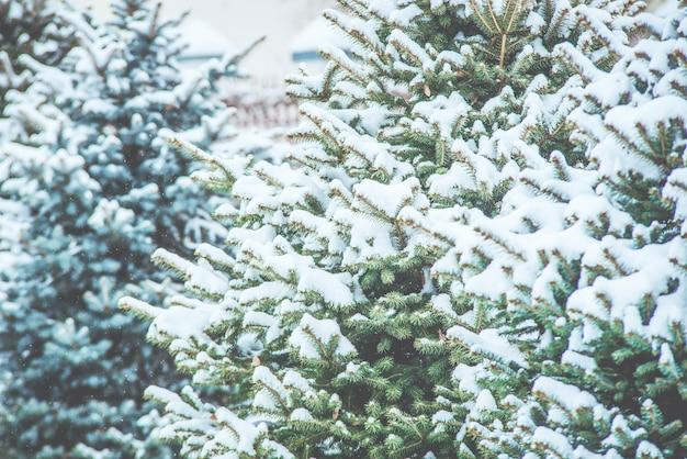 白い冬の凍った針葉樹の枝。吹雪。