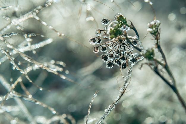 Frozen drops of water on wild plants after freezing rain, beautiful winter bakcground