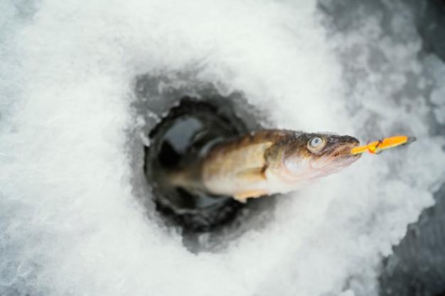 周りに雪が降る冷凍魚