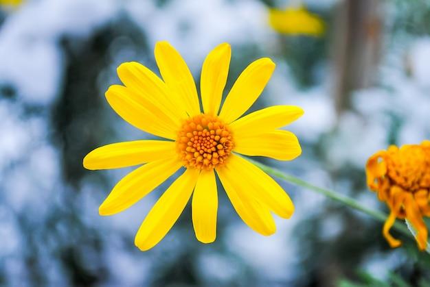 ドルマバフチェ宮殿の雪の中で凍結した花