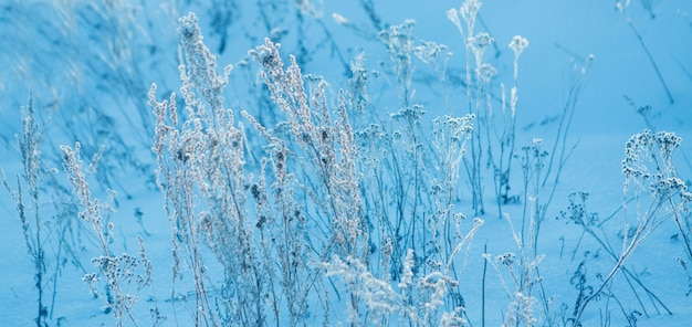 Frozen grass close-up. the frost on the plants. winter landscape: the snow on the nature. fog background, wild flowers and dry grass covered with snow