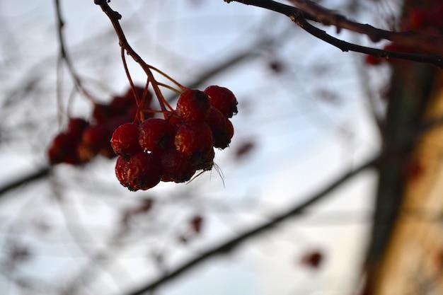 Frozen hawthorn autumn first frost