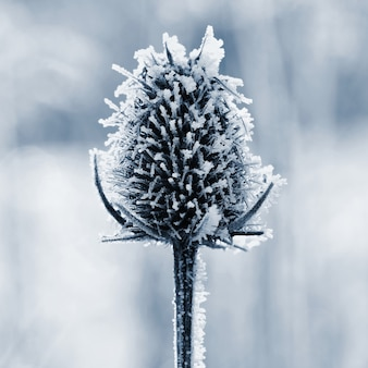 Frozen onopordum acanthium . beautiful winter seasonal natural background.