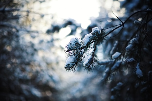 Frozen pine branches in the snow