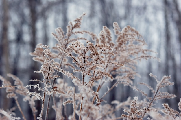 Frozen  plant in front of forest. winter seasonal