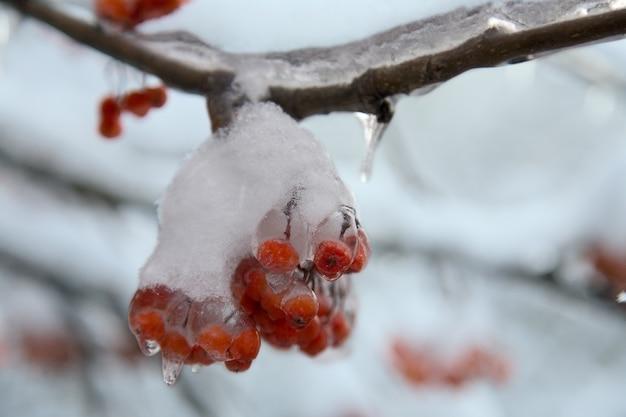 Замороженные красные ягоды и снег