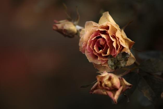 Замороженный цветок розы. морозное садовое растение осенью. цветочный макрос с листом и розовым лепестком. украшение умирающего цветка октября