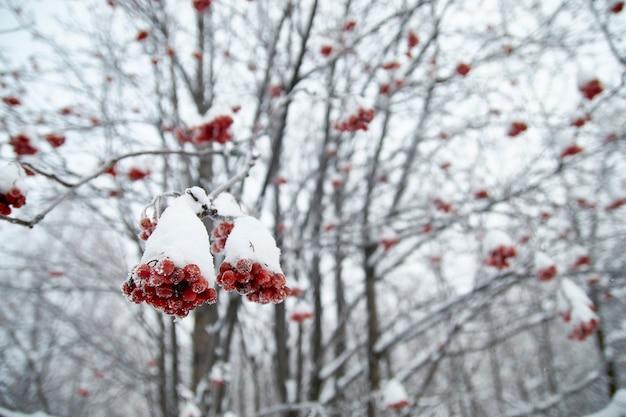雪の中の枝に凍ったナナカマド