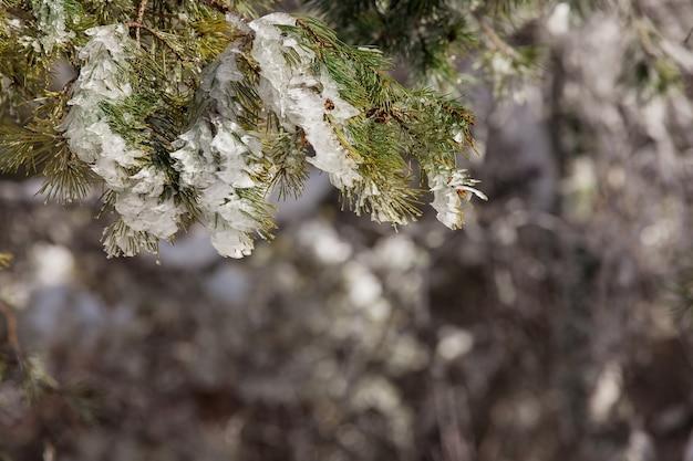 森を背景に凍ったトウヒの枝、冬
