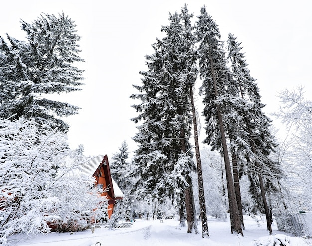 Frozen tall pine trees and small wooden house in vatra dornei village in romania