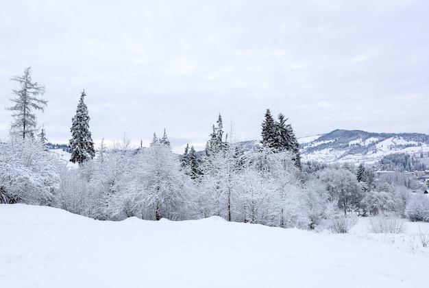 Frozen tall pine trees and snow landscape of vatra dornei village in romania