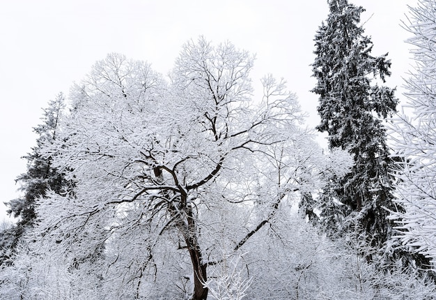 Frozen tall pine trees with ice and snow in vatra dornei village in romania