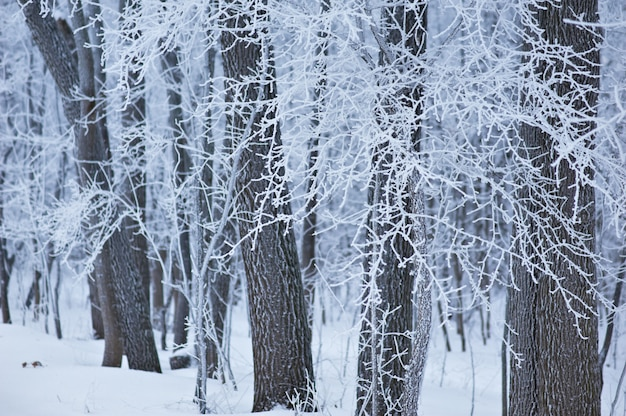 Frozen trees in the forest, tree branches covered hoarfrost