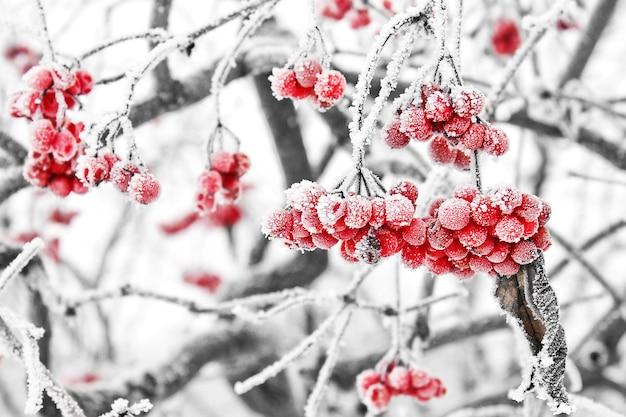 雪の下で凍ったガマズミ属の木。初雪