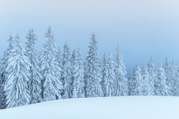 Frozen winter forest in the fog. pine tree in nature covered with fresh snow carpathian, ukraine