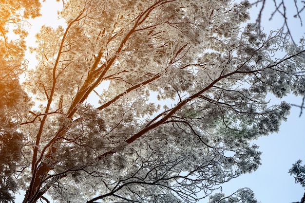 안개 속에서 얼어 붙은 겨울 숲. 하얀 겨울 하늘의 배경에 눈 덮인 소나무 닫습니다