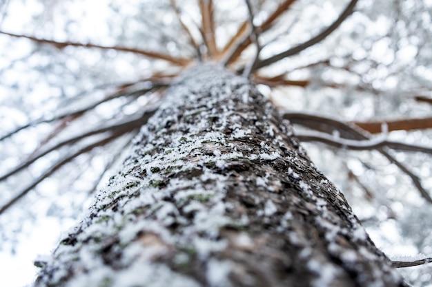 안개 속에서 얼어 붙은 겨울 숲. 배경에 눈 덮인 소나무의 클로즈업