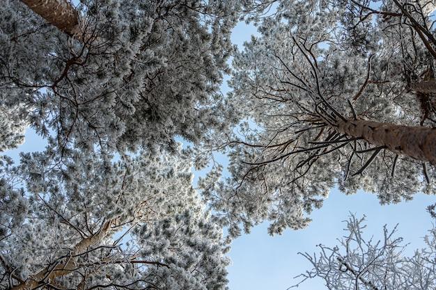 Замерзший зимний лес в тумане. крупным планом заснеженной сосны на фоне