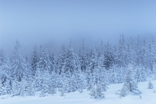 Замерзший зимний лес в тумане. сосна в природе покрыта свежим снегом карпаты, украина