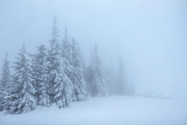 霧の中で凍った冬の森。新鮮な雪で覆われた自然の中の松の木カルパチア、ウクライナ