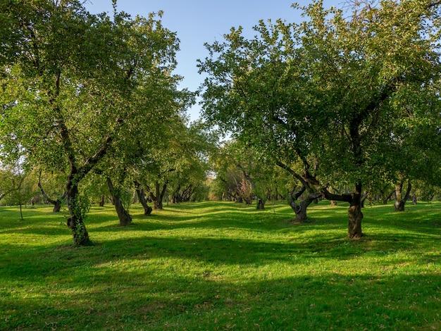 夏のフルーツガーデン。古い果樹が一列に並んでいる緑の芝生。