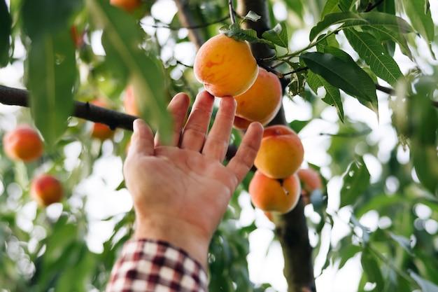 과일 복숭아 정원 남성은 햇볕에 잘 익은 큰 복숭아 과일을 선택합니다. 복숭아는 나뭇가지에 매달려 있습니다.