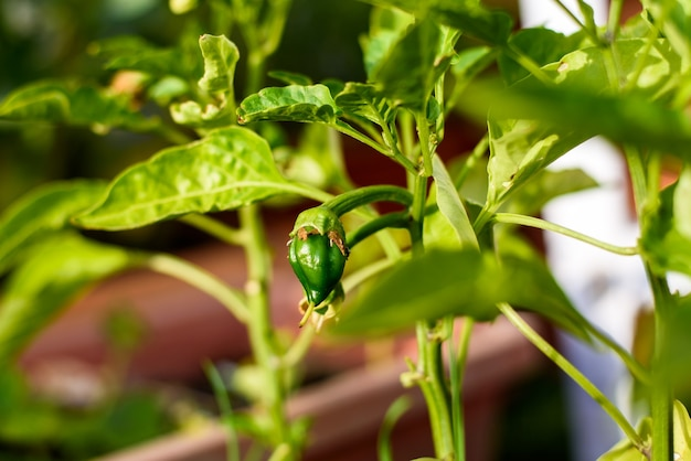 Fruit of a pepper begins to grow from the flower itself in early spring.