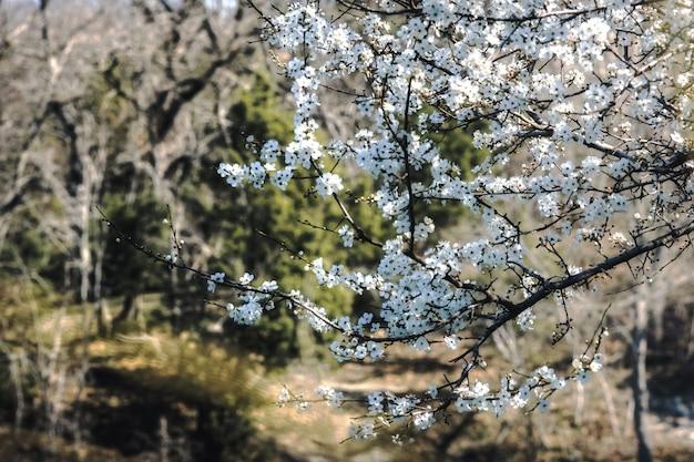 Ветка фруктового дерева с белыми цветами ранней весной на фоне весеннего леса с еще голыми деревьями на солнце