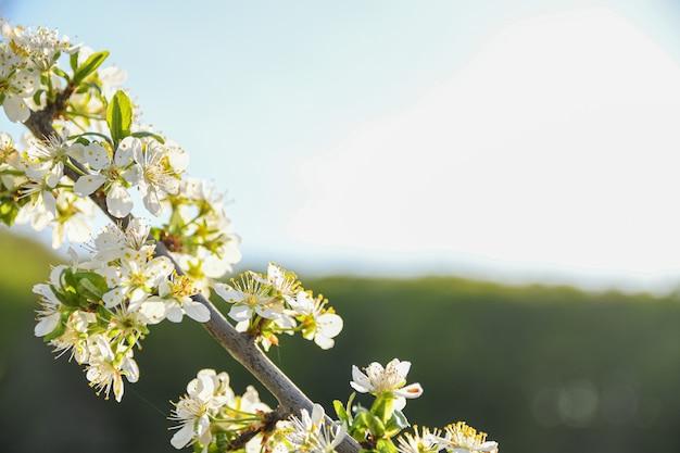 Весной цветут фруктовые деревья на фоне голубого неба и других цветущих деревьев. крупный план.