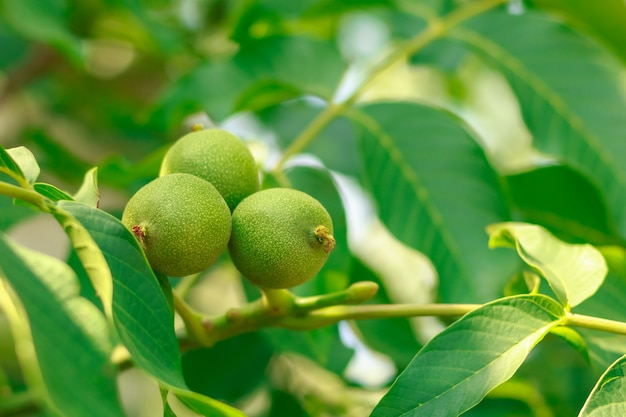 Fruit of a walnut on branches