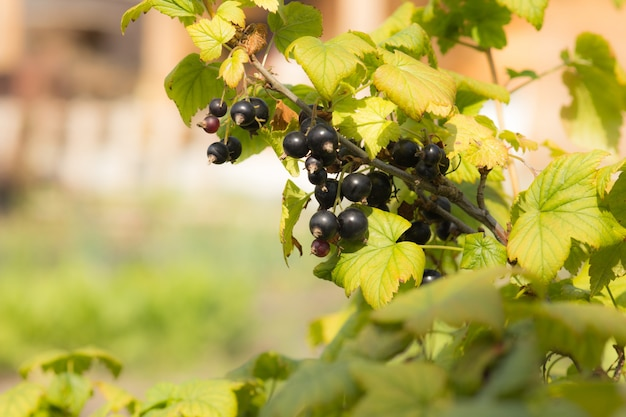 Fruits of berries black currant on a branch, close-up