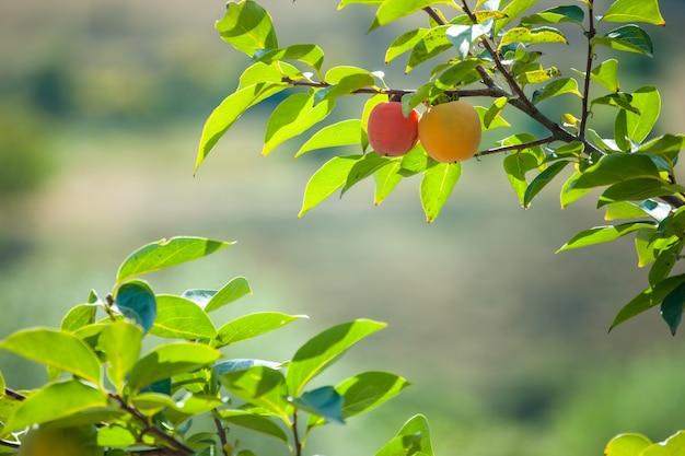 緑の葉を持つ木の果実