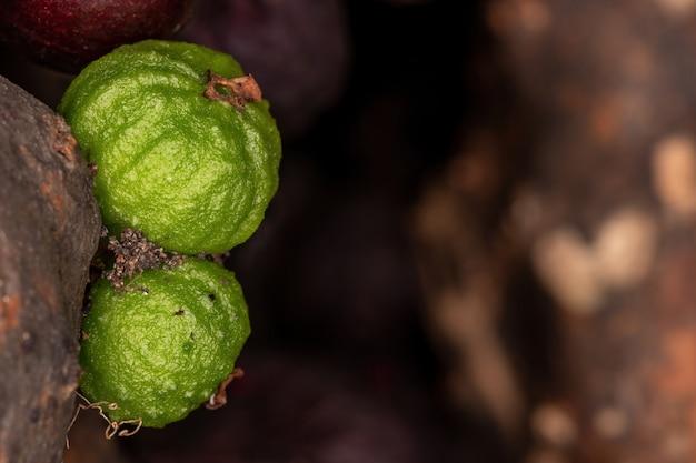 Fruits of a jaboticaba tree of the species plinia cauliflora