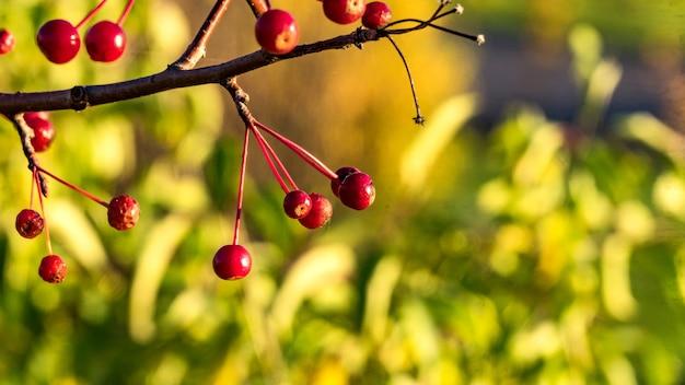 レンネットの木の実。シベリアの秋。トムスク