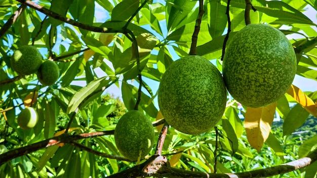 木の上の果物。パンガン島。タイ