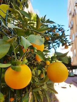 Фрукты на апельсиновом дереве