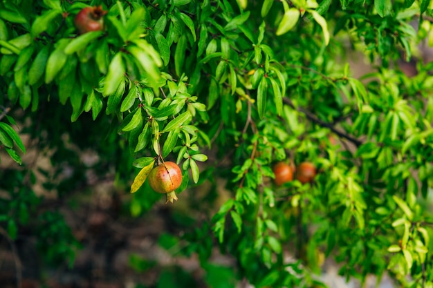 Fruits of pomegranate on a tree in montenegro