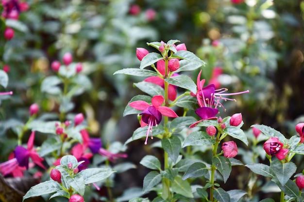 Fuchsia flowers in the garden