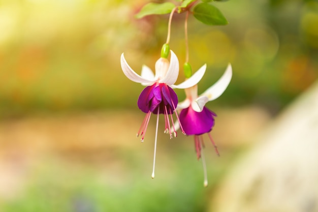 Fuchsia flowers in a summer park in a spring garden.