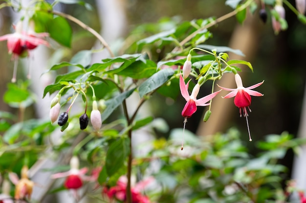 Fuchsia magellanica flower, hummingbird fuchsia or hardy fuchsia