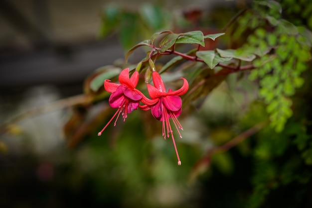 Fuchsia magellanica flower