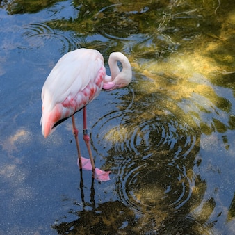 Fuengirola, andalucia/spain - july 4 : greater flamingos (phoenicopterus roseus) at the bioparc fuengirola costa del sol spain on july 4, 2017