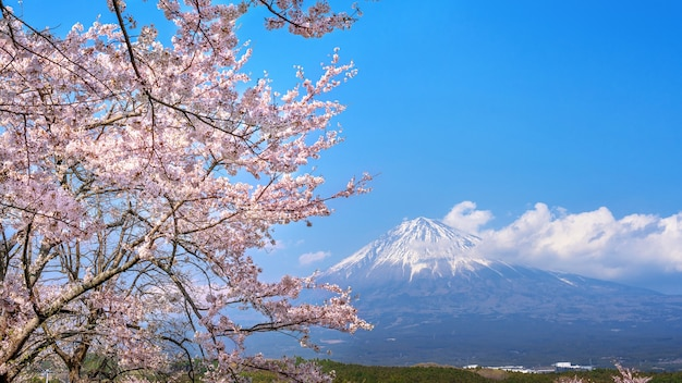 Fuji mountain and cherry blossom in spring, fujinomiya in japan.
