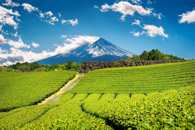 Fuji mountains and green tea plantation in shizuoka, japan.