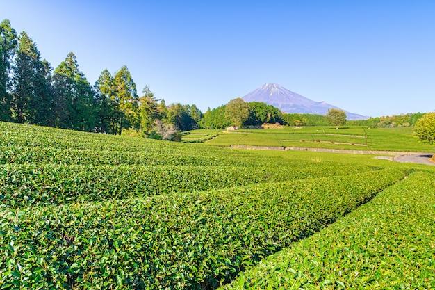 Плантация зеленого чая возле горы. fuji.