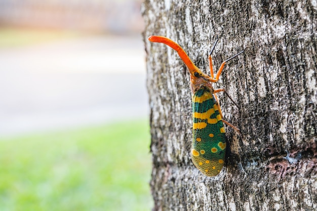 The fulgorid bug (planthopper)  on the bark.
