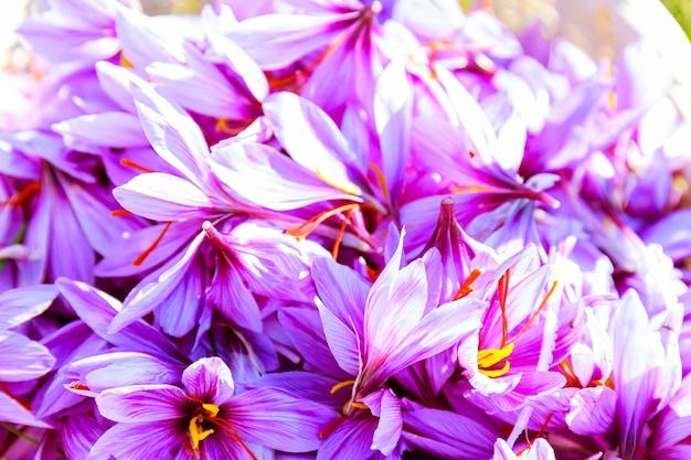 가을에 피는 동안 사프란 밭에 사프란 꽃의 전체 바구니.