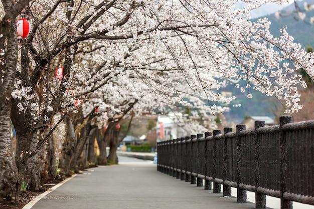 Full bloom cherry blossom along foot path at kawaguchiko north shore lake
