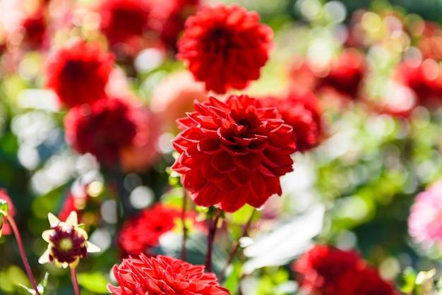 満開のクローズアップ庭の美しいダリアの花