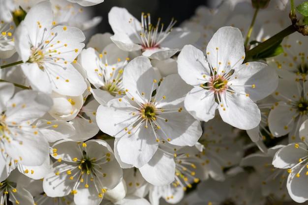 Полноцветущие фруктовые деревья весной в саду, крупный план и детали цветущих растений